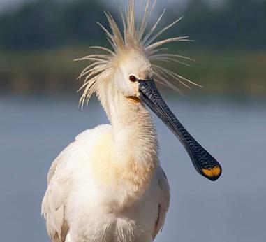 De lepelaar, één van onze bijzondere vliegende eilandgasten op Schiermonnikoog.