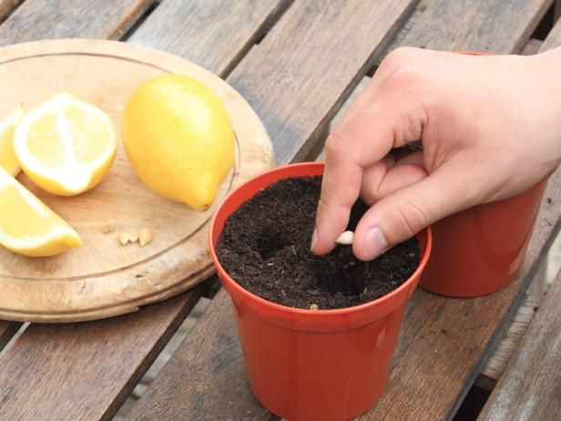 I know a lemon tree won't grow here, but the plants smell wonderful and they could just live in a pot. Plus it would be so special to grow them from one of my mom's lemons!