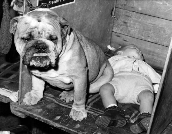 'Bobby' a three-year-old bulldog stands guard over one-year-old Alan King, his master's son, who lies asleep during the Ladies Kennel Association Championship Dog Show at Olympia, London. 1969. Pinned by Judi Crowe.