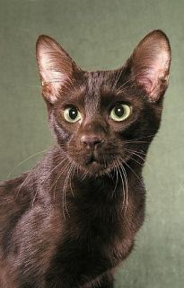 Fun fact: the Havana brown cat is the only all-brown cat breed. Learn more interesting tidbits about this affectionate, rare breed.