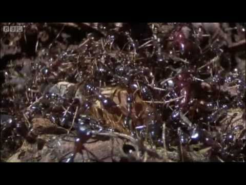Summons of the Queen ant - Ant Attack - BBC