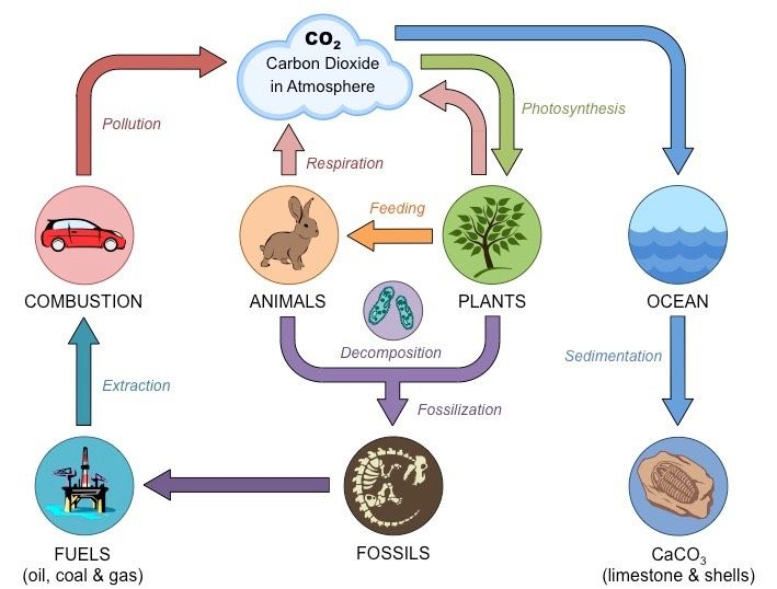 Carbon Cycle Bioninja Carbon Cycle Carbon Nitrogen Cycle