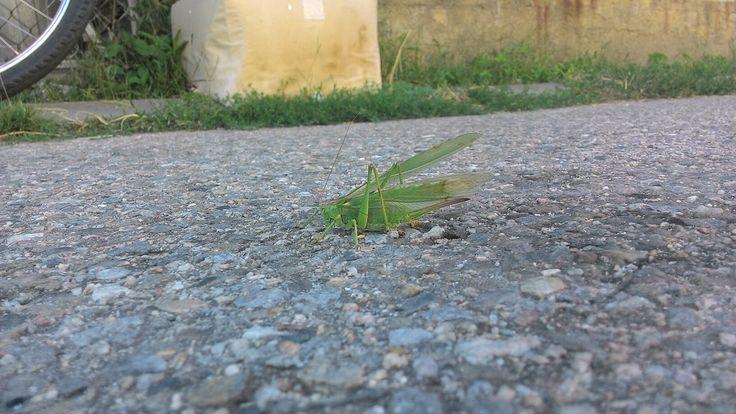 Kobylka ac lucusta singula za barákem