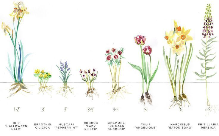 Fall Bulb Planting Guide#bulb #fall #guide #planting in ...