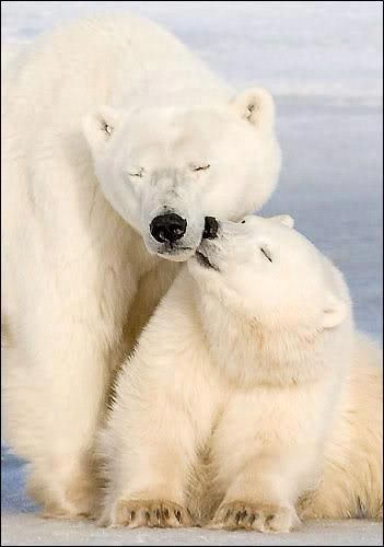 Polar bear love. Please check out my website thanks. www.photopix.co.nz