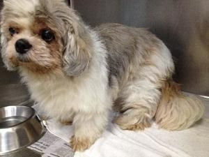 Jasper is an adoptable Shih Tzu Dog in Rustburg, VA. Jasper is a happy go lucky fellow!  He is enjoying life in foster care and has made friends with all the resident people and pets.  He has whats ca...
