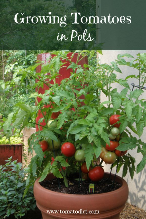 Growing Tomatoes In Pots What You Need To Know To Grow Patio