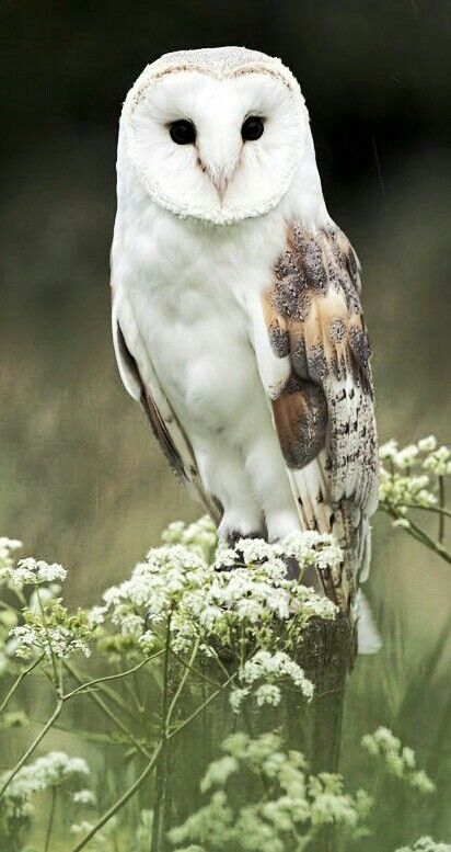 "[Barn Owl with Queen Anne's Lace] -------------- * * "" A human who-o-o doubts demself shouldn'ts haz to try too hards, fer too longs, nots until dey be seasoned."" -----------------------[Stephan King - The Stand"