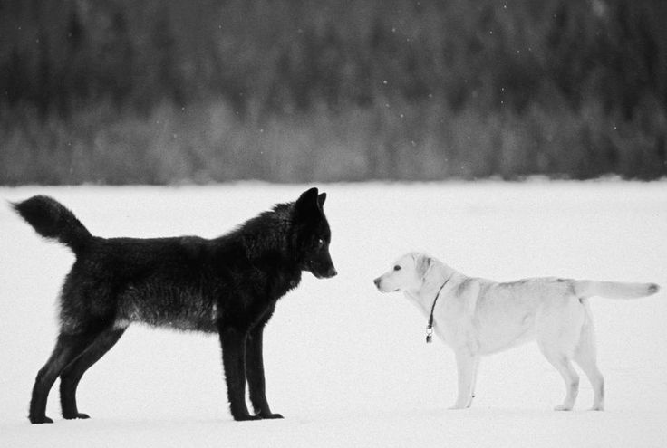 This Wolf Just Wanted To Be One Of The Pack…Of Dogs
