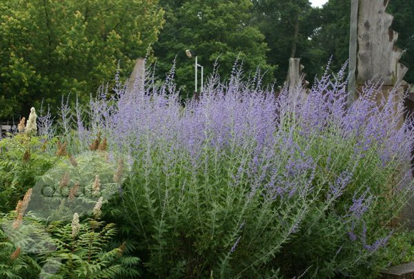 Buy Russian sage Perovskia 'Blue Spire': Delivery by Crocus.co.uk