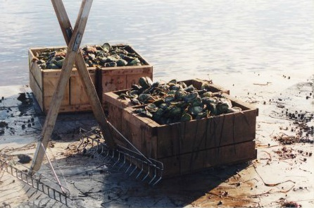 Fresh #Colville Bay #Oysters from #PEI. http://www.colvillebayoysterco.com