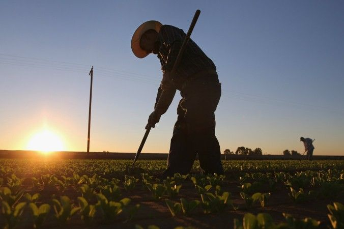 Mexican agricultural workers cultivate romaine lettuce on a farm in Holtville, Calif., on Oct. 8, 2013. (John Moore/Getty Images)