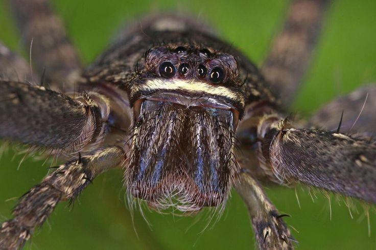 Bild zu Spinne Australien Riesenkrabbenspinne Charlotte