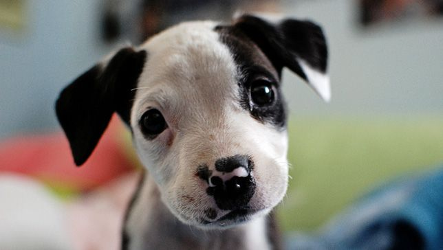 Oct. 25 is National Pit Bull Awareness Day, and there are many ways you can get involved.