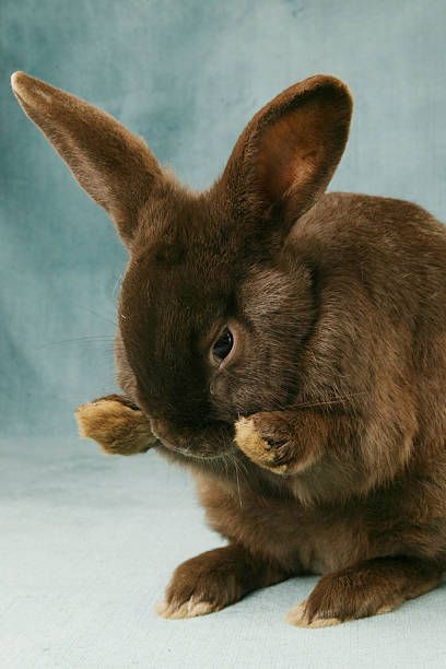 Small Wild Animals: The French Havana Rabbit This Breed Was Created By