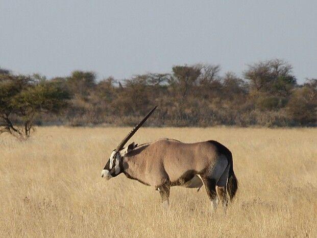 Classic Kalahari #oryx #Botswana #safari