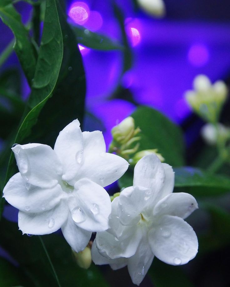 jasmine blooming. . . . . . . . . #flower #jasmine #night #nature #naturephotography #nightphotography #nightlife #iphonesia #iphone #lights #vsco  #olympus #like4like #purwakarta #lembang #bandung #indonesia #livefolkindonesia #wonderfulindonesia #instagood #instamood #instalike #instamoment #landscape #photoshoot #photographyeveryday #macro #learningphotography http://misstagram.com/ipost/1550624310830089707/?code=BWE7JhbHMXr