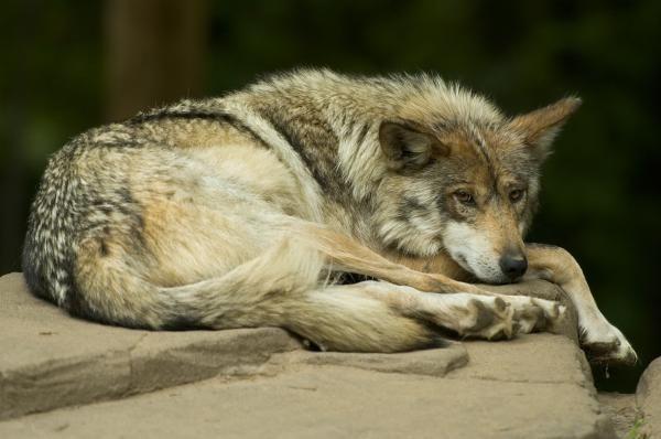 25 Animales En Peligro De Extinción En México Lista Fotos Vídeo Y Datos Animales En Peligro De Extincion Lobo Gris Mexicano En Peligro De Extincion