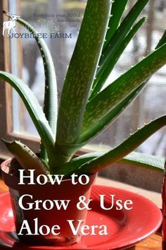 "Aloe is a ""first aid kit in a plant"" according to Rosemary Gladstar. [3] Externally aloe vera gel is useful for skin irritation, wounds, scratches, and bedsores, as well as burns. Internally, the fresh gel is used in to soothe ulcers and as a laxative."