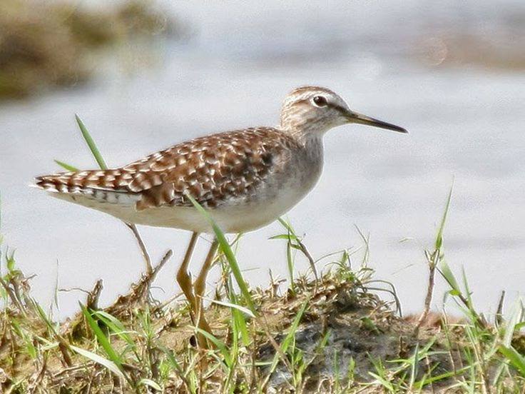 Kolleru Bird Sanctuary - in Eluru, Andhra Pradesh, India