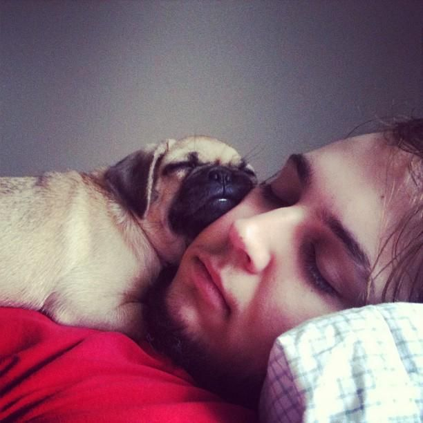 Pug Life - sleeping with pugs
