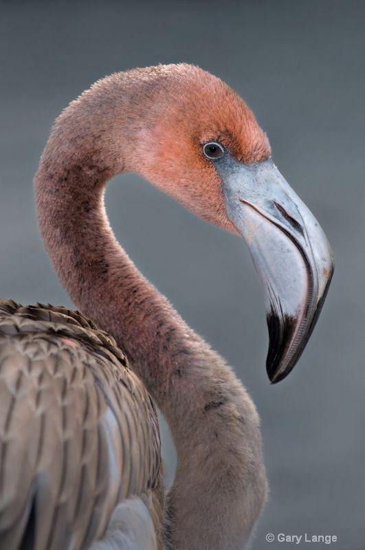Immature Carribean Flamingo