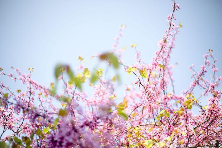 Des arbres en fleurs à Hendaye.. Un air d'été et une odeur de printemps ! #hendaye #paysbasque