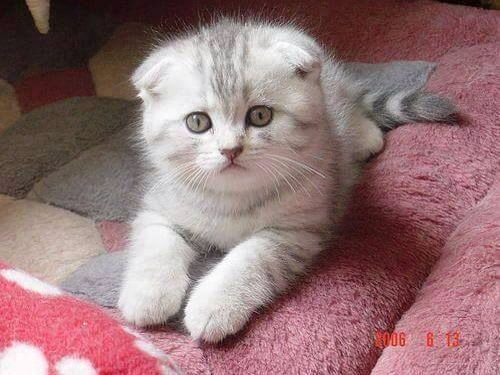 Omg! Scottish fold kittens are the cutest!!