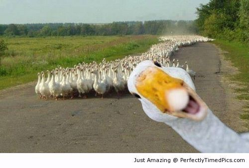 Duck photobombs his friends or Aflac duck after winning the commercial spot.