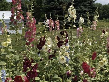Old Fashioned Mix hollyhocks. Plant by our fences.