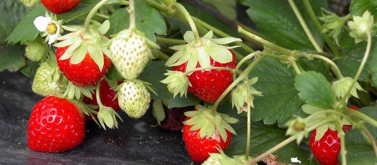 Les 7 meilleures images du tableau les herbes sauvages comestibles sur pinterest herbe - Laurier comestible comment reconnaitre ...
