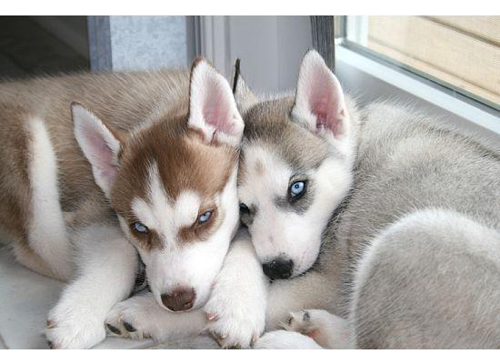 Husky pups cuddling