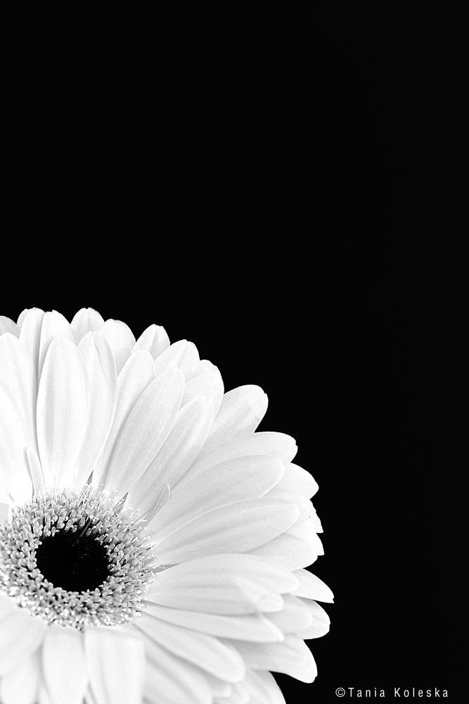 https://flic.kr/p/FZLGdo | White Gerbera... | Website | Tumblr |  500Px | Instagram | Facebook  Press L to see  Large in Black...  ::: Click here to view my latest images. ::: Click here for my most interesting photos.   Interesting for cory? Contact Me: tkoleska@yahoo.gr  Camera Model: Canon EOS 6D ; Lens's focal length: Canon EF 100mm f/2.8 USM;  All rights reserved - Copyright © Tania Koleska