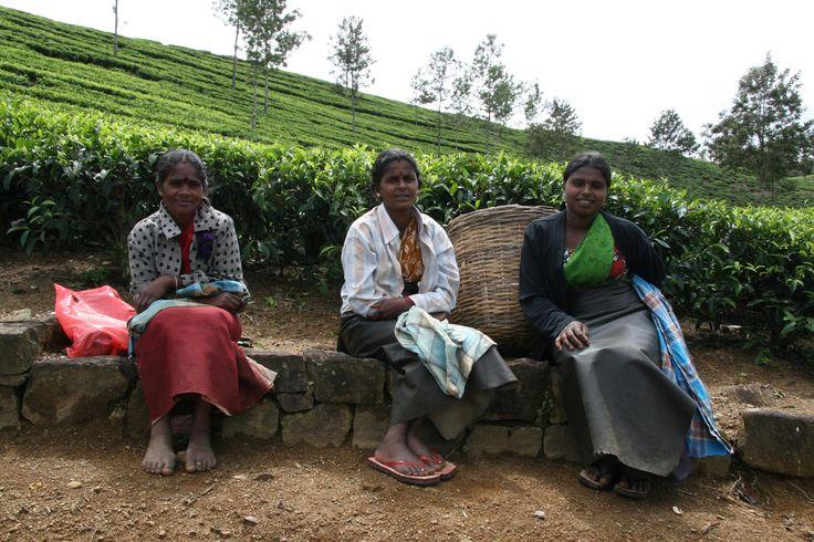 Theeplukster in de omgeving van Nuwara Eliya in Sri Lanka