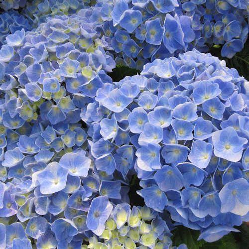 258 best plantes et arbres images on pinterest trees - Terre pour hortensia bleu ...