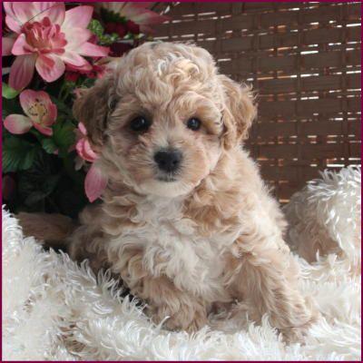 Poochon PuppyOh I want one! Dreams Pinterest