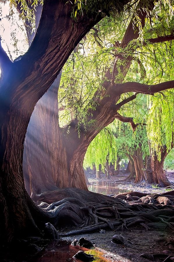 Forest in the morning by Hugo Perez - Photo 87981599 / 500px