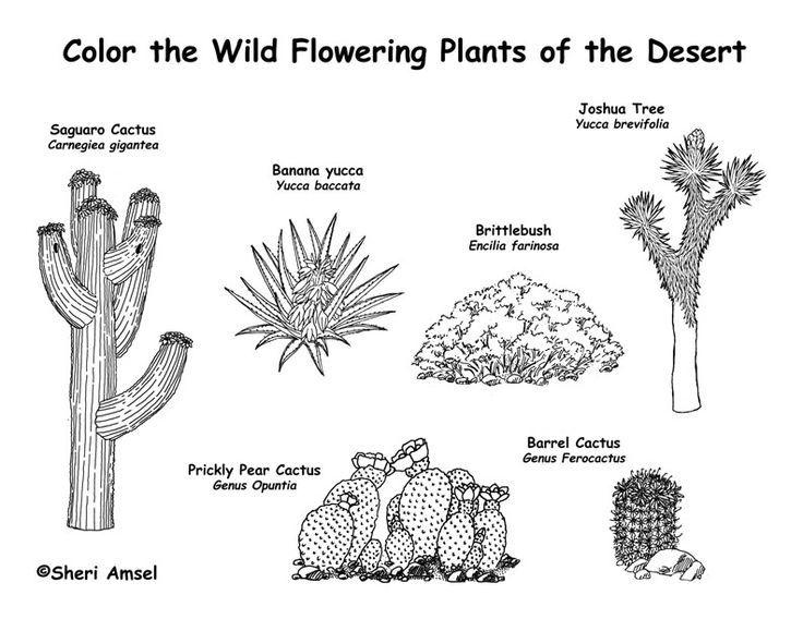 Desert Plant Drawing Wwwimgarcadecom Online Image