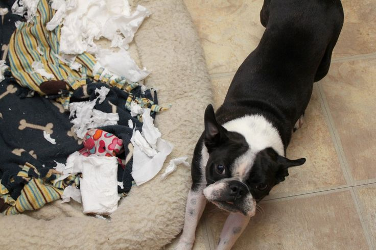 99/365:  Yep, shredding that whole roll of TP was tough work, but I got it done!: Boston Terriers The, Sweet Bostons, Strictly Bostons, Dog, Animal, Toilet Paper