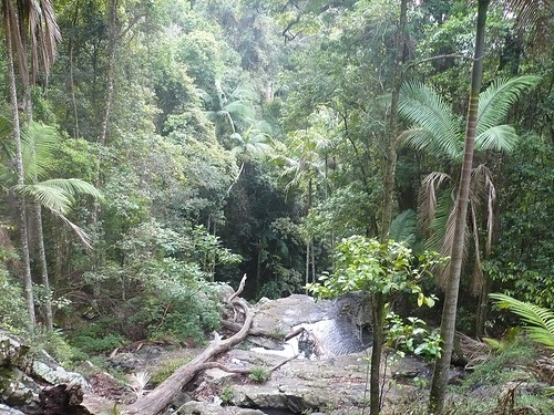 Tropical rainforest with a trickle of water during drought conditions - Mt. Glorious, Brisbane, Queensland.  Early morning fog slowly clearing as the sun breaks through the rainforest canopy.