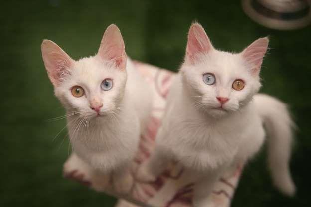 Zwei Van-Katzen blicken in die Kamera des Van-Cat-Forschungszentrums in Van Yüzün … – Animals