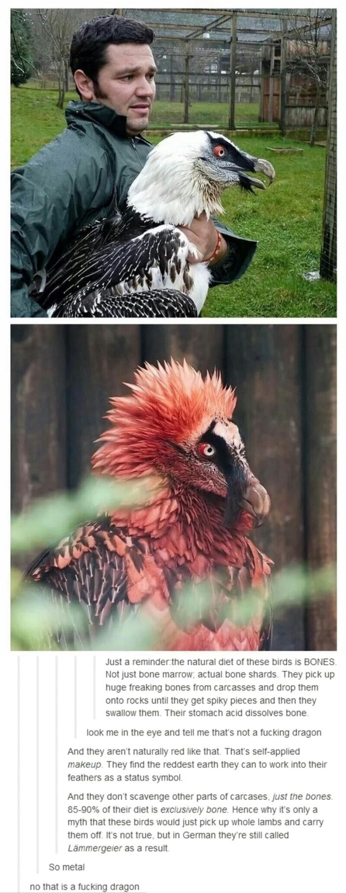 See? Dragons are real (Bearded vultures is the name)