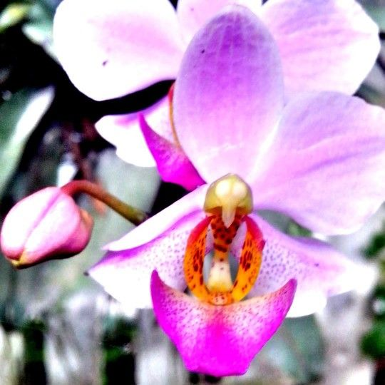 The Purple Orchid