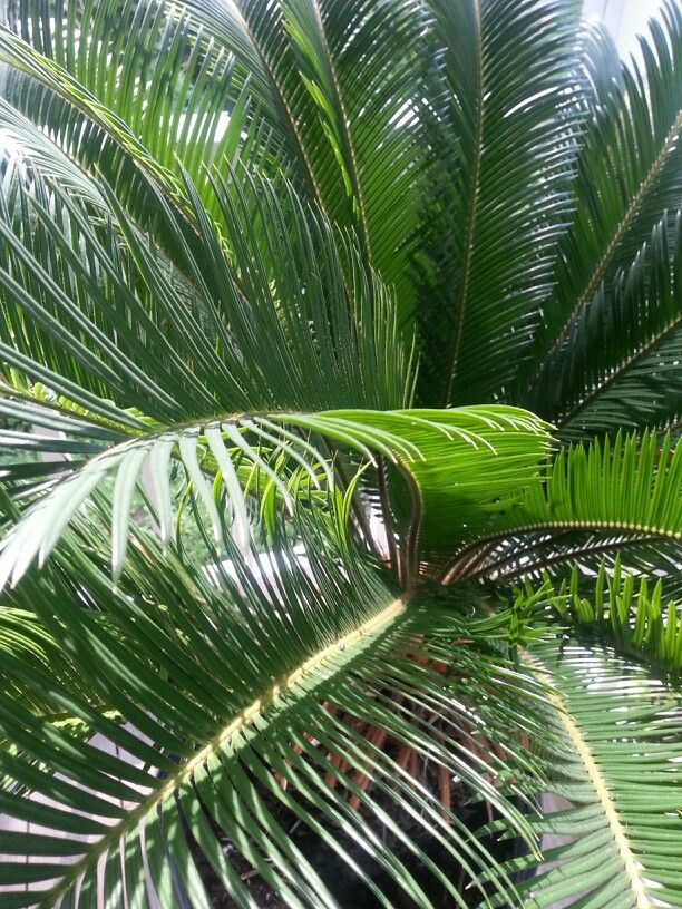 Sega Palm