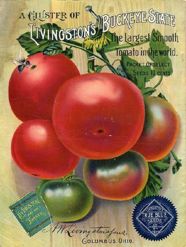 The Largest Smooth Tomato in the South! Livingston's Buckeye State