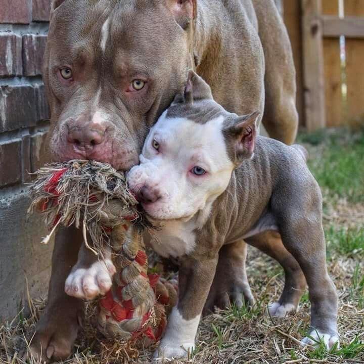 So Vicious Pitbull Bull Dog Stuff Dog Breeds Pitbull Dog