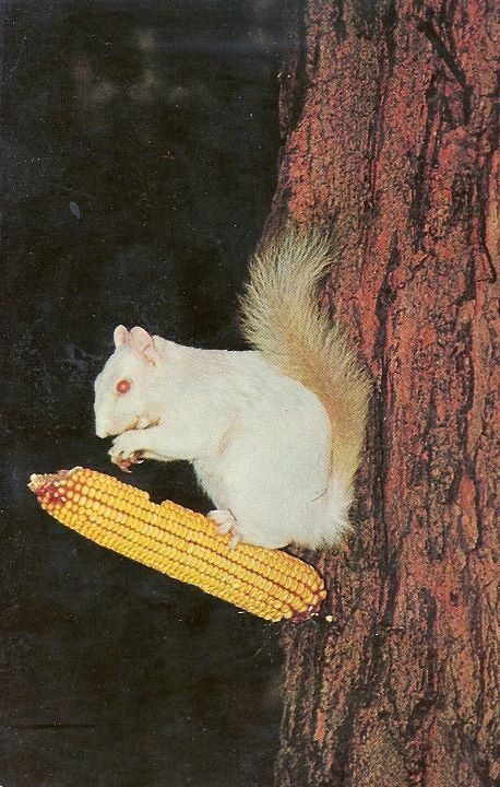 Old Olney post card of white squirrels