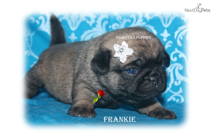 Pug Puppy for Sale: *Just Born* Baby Pugs - e80fe280-8961