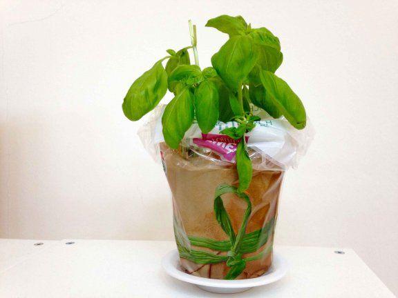 Basilikum aus dem Supermarkt lässt schnell die Blätter hängen. Mit diesen Tipps geht Ihr Basilikum nicht mehr ein!