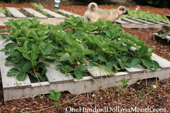 How to grow strawberries in a wood pallet gardening for What to grow in a pallet garden